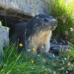 Une marmotte un peu moins farouche